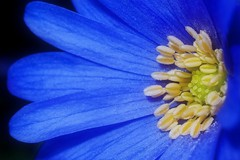 Anemone Blanda - aka Blue Windflower (Paul Sibley) Tags: flower photoaday nikond60 3652014