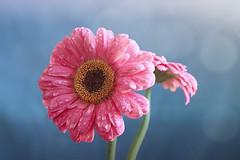 Pink Gerbera Daisies (Jenny Onsager) Tags: pink light rain canon bokeh waterdroplets pinkpetals pinkgerberadaisy bluebokeh mygearandme mygearandmepremium mygearandmebronze mygearandmesilver mygearandmegold mygearandmeplatinum mygearandmediamond jennyonsager