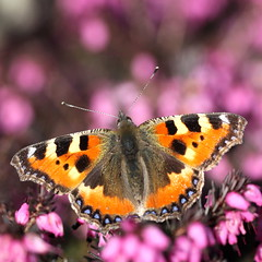 small tortoiseshell (bugman11) Tags: flowers orange flower macro nature animal animals fauna canon butterfly bug insect wings flora ngc nederland thenetherlands butterflies insects bugs npc 1001nights thegalaxy flickraward platinumheartaward 100mm28lmacro 1001nightsmagiccity mygearandme mygearandmepremium mygearandmebronze mygearandmesilver mygearandmegold mygearandmeplatinum mygearandmediamond infinitexposure