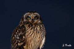Coruja-do-nabal (Asio flammeus) (Jose Frade) Tags: bird ave frade asioflammeus corujadonabal