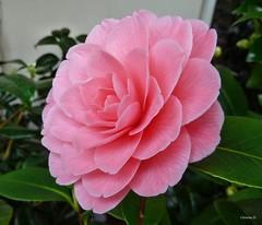 in meinem Garten - on Explore Mar 4. 2014 # 415 (mama knipst!) Tags: flower fleur natur camelia camellia blume kamelie meingarten
