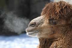 Camel on a Cold Morning (Mark Dumont) Tags: snow animals mammal zoo mark cincinnati camel bactrian dumont explored