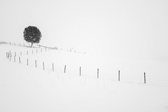 Tree and fence (Helena Normark) Tags: norway norge srtrndelag whiteout heimdal rx1 skjetlein sonyrx1 sonycybershotdscrx1
