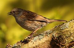 dunnock (explored) (Dawn Porter) Tags: bird somerset dunnock