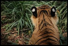 Tiger ears (swawilg) Tags: mammal tiger ears bigcat predator bengaltiger pantheratigris flickrbigcats