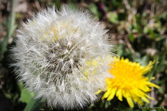 Fine & Dandy (Kristi Booher Photography) Tags: lighting flowers macro nature canon weeds ambientlight wildflowers dandelions outdoorphotography