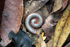 (Irina-R) Tags: thailand worm kohchang djungel