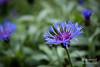 Day 126/365 - Centaurea montana (phil wood photo) Tags: flowers may 365 knapweed day126 centaureamontana project365 3652014 06052014