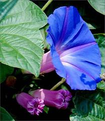 OUPA SE HOED / MORNING  GLORY (louisemcduling) Tags: pink blue flower green leaves groen purple award bud morningglory pers blou blom blare pienk toekenning arborsquare blomknop oupasehoed