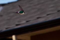 Violet-green Swallows On-the-Wing 17 (LongInt57) Tags: houses white canada green nature birds buildings grey flying wings bc purple okanagan wildlife gray fast roofs swallows violetgreen