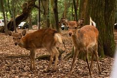 / Shika Deer (kimtetsu) Tags: animal japan deer  nara   narapark shika