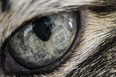 15 February 2015 (runningman1958) Tags: macro eye cat nikon feline eyeball 365 cateyes teemu cateye 365dayproject raynoxdcr250macro d3100 nikond3100 d3100nikon