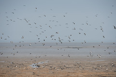 Photo of Lapwing flock over Dee Estuary