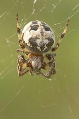 Larinioides cornutus (henk.wallays) Tags: macro nature closeup spider wildlife arachnid spin natuur arthropoda aaaa araigne araneidae arachnidae larinioidescornutus rietkruisspin henkwallays