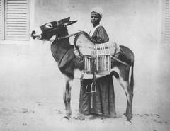 02_Luxor - Donkey Driver (usbpanasonic) Tags: egypt donkey nile nil luxor egypte مصر nubian egyptians misr masr upperegypt egyptiens luxour