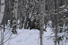 Morgenhvil / Morning nap (Inger Bjørndal Foss) Tags: norway moose calf