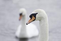 Swan (GaseousClay1) Tags: cygnusolor swan worcestershirewildlifetrust uptonwarren avian bird nature wildlife wildfowl thechristophercadburywetlandreserve muteswan bütyköshattyú cignemut cisnevulgar cygnetuberculé hnúðsvanur höckerschwan knobbelzwaan knopsvane knölsvan kühmnokkluik kyhmyjoutsen mutacigno martinclay