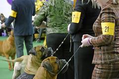 Westminster 2015_10 (AbbyB.) Tags: show newyorkcity dog englishmastiff westminsterdogshow