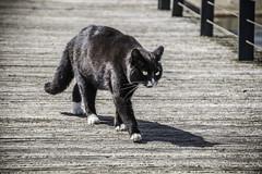 A stroll in the sun (tootdood) Tags: bridge sun white black animal marina cat manchester paws stroll moggie newislington canon70d