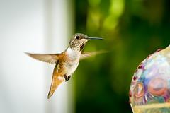 Female Allen's Hummingbird - Selasphorus sasin (halladaybill) Tags: california backyard frozenmoment allenshummingbird selasphorussasin nikond7100