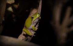 Litoria fallax (dustaway) Tags: australia queensland tamborinemountain australianwildlife anura amphibia hylidae sequeensland litoriafallax dwarftreefrog
