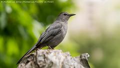 Gray Catbird (DSC07176) (Michael.Lee.Pics.NYC) Tags: newyork bird birdbath bokeh centralpark sony graycatbird conservatorygarden burnettfountain a7rm2 fe70300mmg
