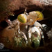 Mantis shrimp in a hole