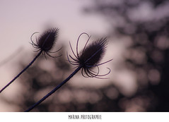 #32 (Les photographies de Marina) Tags: france flower nature fleur pentax printemps champ hauteloire youngsphotographers projet365 jeunephotographe pentaxkr