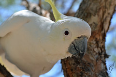 Hello Cocky (SGreaves90) Tags: bird character australian australia cocky cockatoo birdwatching townsville cacatua sulphercrested leadbeateri