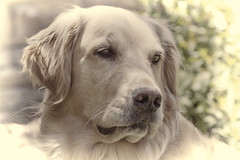 My loyal friend (Exdeltalady) Tags: goldenretriever golden canine mansbestfriend gentle doglovers flickrsdoglovers