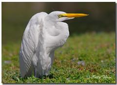 Great Egret (Betty Vlasiu) Tags: bird nature alba wildlife great ardea egret