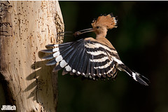 Hoopoe, Wiedehopf, Upupa epops @ HaYarkon, Tel Aviv, Israel, 2016, urban nature (Jan Rillich) Tags: park urban sun nature beautiful beauty animal june fauna digital photography eos israel photo telaviv spring flora foto fotografie image feeding jan wildlife picture free sunny urbannature guest upupaepops hoopoe yarkon 2016 animalphotography fütterung hayarkon wiedehopf bruthöhle nahalhayarkon janrillich rillich breedingburrow