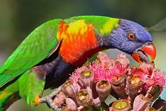 Rainbow Lorikeet 056 (DMT@YLOR) Tags: flower tongue rainbow beak lorikeet parrot australia queensland pollen rainbowlorikeet ipswich gumnuts redfloweringgum goodna