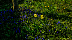 At The My Spring Garden (snakecats) Tags: flower green yellow garden tulip    muscari