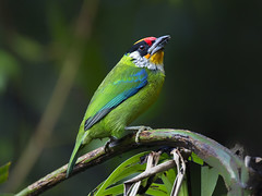 Golden-throated Barbet _ -27  (mahi mahi 163) Tags: china barbet 600mm