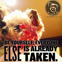 Go ahead, you can do it! (itsayorkielife) Tags: yorkiememe yorkie yorkshireterrier quote