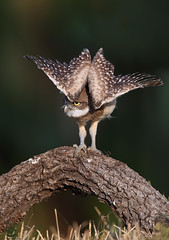 Take A Bow (Megan Lorenz) Tags: travel wild bird nature florida wildlife stretch owl stretching avian birdofprey wildanimals burrowingowl 2016 owlet mlorenz meganlorenz