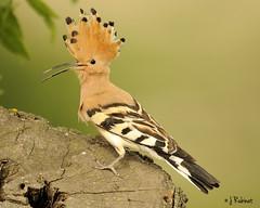 Abubilla -Upupa epops- (rubinat) Tags: bird birds fauna aves animales
