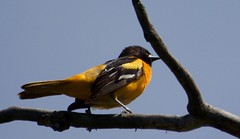 DSC_6970 (barrypphotos) Tags: calgary bird baltimore alberta sanctuary oriole ingelwood