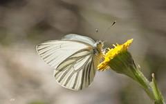 Piride des crucifres / Mustard White (alain.maire) Tags: canada nature insect quebec lepidoptera pieridae mustardwhite lpidoptre pierisoleracea piridedescrucifres