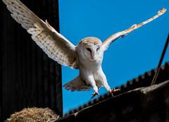 Barn Owl (captive) (simon.mccabe.5) Tags: uk bird pray owl reptor