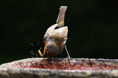 Shake it off ! (gshaun12) Tags: bird nature water robin animals bokeh wildlife fantasticnature