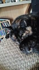 DiDi (MissMaryLogan) Tags: didi cat tortoiseshell pet