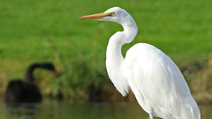 IMG_8680 (Stonez06) Tags: white heron napier andersonpark kotuku