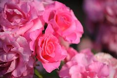 20160522-D7-DS7_2577.jpg (d3_plus) Tags: park street sky plant flower nature japan garden walking drive tokyo nikon scenery bokeh fine daily bloom   nikkor   kanagawa   dailyphoto touring     thesedays  fineday  jindaiji          d700 kanagawapref nikond700