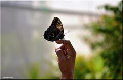 Dcil Mariposa (juanmerkader) Tags: naturaleza nature butterfly nikon picture butterflies pic mariposa mariposas almera picoftheday njar picofftheday nikond750