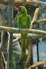 papagaio (1) (friedrich vdL) Tags: portrait rot fauna zoo tiere indoor grn blau dslr bunt papagei tier vogel voliere totale farbfoto hochformat gefangenschaft frontalansicht ganzkrperaufnahme menschlicheobhut