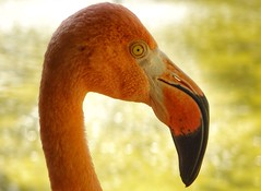 Flamingo Profile (canaimaman) Tags: pink summer portrait sun bird nature bokeh wildlife sony tropical tranquil rx10