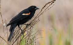 Red-winged Blackbird (sadjadi) Tags: bird minnesota us unitedstates aves redwingedblackbird saintlouispark westwoodhillsnaturecenter agelaiuspheoniceus