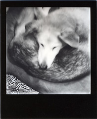 Pup-pup (R. Drozda) Tags: bw film home alaska polaroid sx70 curl retired dogbed fairbanks sleddog beingthere puppup instantfilm cholie blackframe alaskahusky drozda choliepup moosecholok impossibleproject bwforsx70